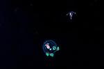 Anthomedusa Cytaeis tetrastyla Jellyfish