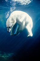 polar bear, Ursus maritimus, swimming in the Anchorage Zoo, Anchorage, Alaska, polar bear, Ursus maritimus