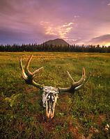 moose, Alces alces, skull, at sunset, Lake Aleknagik, Alaska, USA