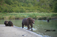 A photo of a sow and her two cub walking along the shore in Katmai National Park Alaska. Grizzly Bear or brown bear alaska Alaska Brown bears also known as Costal Grizzlies or grizzly bears Grizzly Bear Photos, Alaska Brown Bear with cubs. Purchase grizzly bear fine art limited edition prints here Grizzly Bear Photo Bear Photos,