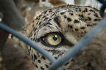 Male Arabian Leopard (Panthera pardus nimr) seen through wire fencing at the Arabian Wildlife Centre & captive-breeding project, Sharjah, United Arab Emirates.