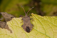 Lederwanze, Saumwanze, Coreus marginatus, Mesocerus marginatus, squash bug