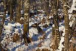 Eastern wild turkeys in winter