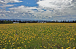 Meadow at a marsh at Jonnhalt, Norway, covered with yellow flowers at june.