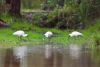 Royal Spoonbill, Wooli, NSW, Australia