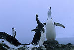 Courting Chinstrap Penguins in the South Orkney Islands.