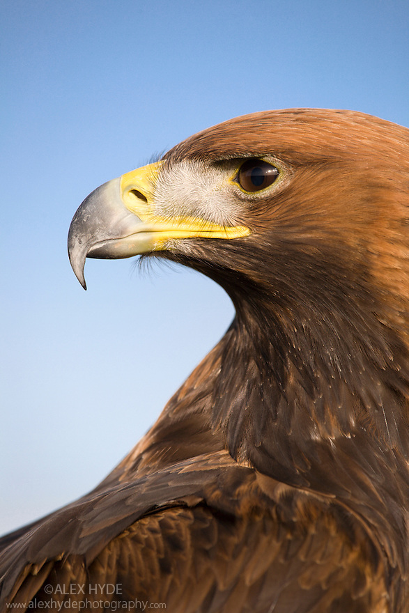 Portrait of a male Golden Eagle {Aquila chrysaetos} against blue sky, Peak District National Park, UK. Captive bird.