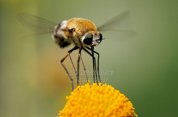 Large Bee Fly (Bombylius sp.), adult in flight feeding on flower, Laredo, Webb County, Texas, USA