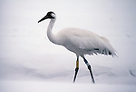 Whooping crane in a spring blizzard at Grays Lake National Wildlife Refuge, Idaho