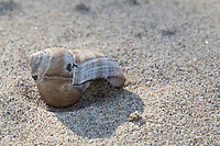 Gemeine Strand-Schnecke, Strandschnecke, Gemeine Uferschnecke, Große Strandschnecke, Hölker, leeres Gehäuse am Strand, Spülsaum, Littorina littorea, Litorina litorea, common periwinkle, common winkle, wheelk, edible winkle, drift line, Le bigorneau, d'escargot de mer