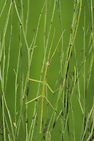 Giant Walkingstick (Megaphasma denticrus), adult in grass, Sinton, Corpus Christi, Coastal Bend, Texas, USA