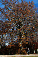 The oldest beech (500 years old) of the Canfaito secular beech forest in autumn. The forest is located in the Natural Reserve of Monte San Vicino e Canfaito, in Marche central region of Italy. In fall season the forest becomes an attraction for thousand of people because of its amazing colors<br /> Canfaito, Macerata (Italy), November 1st 2020<br /> Photo Samantha Zucchi Insidefoto