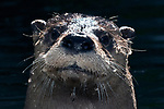 close-up of river otters face and head, face view