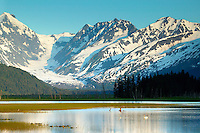 Swans on a Pond along the Seward Highway, Kenai Peninsula and the Chugach National Forest, Alaska