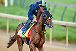 LOUISVILLE, KY - MAY 02: Fellowship, trained by Stanley Gold and owned by Jacks or Better Farm, Inc., exercises and prepares during morning workouts for the Kentucky Derby and Kentucky Oaks at Churchill Downs on May 2, 2016 in Louisville, Kentucky. (photo by John Voorhees/Eclipse Sportswire/Getty Images)