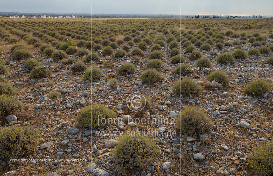 ALBANIA, Shkodra, farming of herbal and medical plants, stony Lavender field / ALBANIEN, Shkoder, Anbau von Heil- und Gewuerzpflanzen, steiniges Lavendel Feld