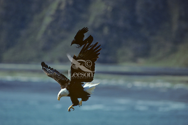 Bald Eagle being harassed by crow (northwestern crow).   Alaska.  Summer.