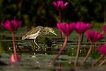 Indian Pond Heron (Ardeola grayii) foraging, Diyasaru Park, Colombo, Sri Lanka
