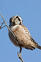 00831-008.04 Hawk Owl Surnia ulula is perched on top of dead tree typical of species.  Bird of prey, raptor, predator.  V5L1