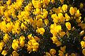Flowering Gorse (Ulex europaeus). Isle of Skye, Inner Hebrides, Scotland, UK. March.