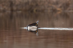 Drake ring-necked duck - courtship display.