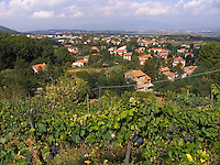 Castelvecchio, Tuscany, Italy, grapes on vines in hillside vineyard