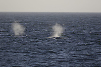 Fin whales, Balaenoptera physalus, surfacing, South Orkney Islands, Scotia sea Southern Ocean, Antarctica