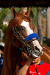 """DEL MAR, CA  AUGUST 25:   #1 Catalina Cruiser, enters the paddock before the Pat O'Brien Stakes (Grade ll), Breeders' Cup """"Win and You're In Dirt Mile Division"""" on August 25, 2018 at Del Mar Thoroughbred Club in Del Mar, CA.(Photo by Casey Phillips/Eclipse Sportswire/Getty ImagesGetty Images"""