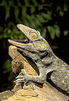 GK02-014z   Tokay Gecko - uttering threatening sound at intruder - Gekko gecko