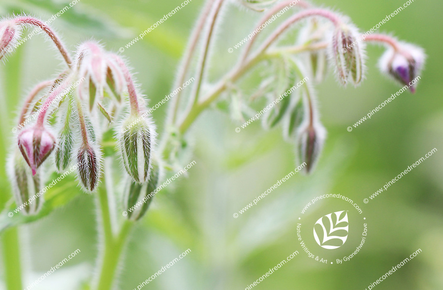 Dreamy looking soft pastel colored hairy buds in spring - Free nature stock image.