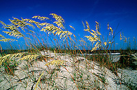 Sea oats growing on sand dune. South Carolina.