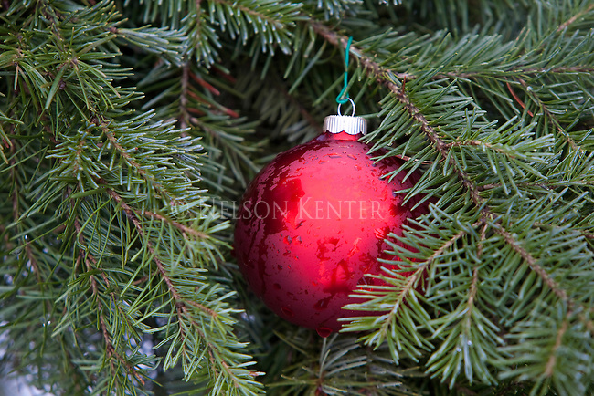 A red christmas bulb decoration in spruce tree branches