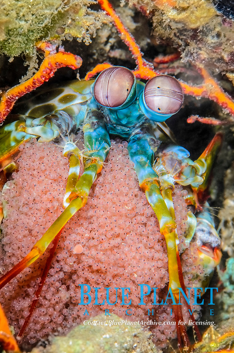 Peacock mantis shrimp, Odontodactylus scyllarus, with eggs, Lembeh Strait, North Sulawesi, Indonesia, Pacific
