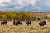 Buffalo farm, Delta Junction, Alaska.