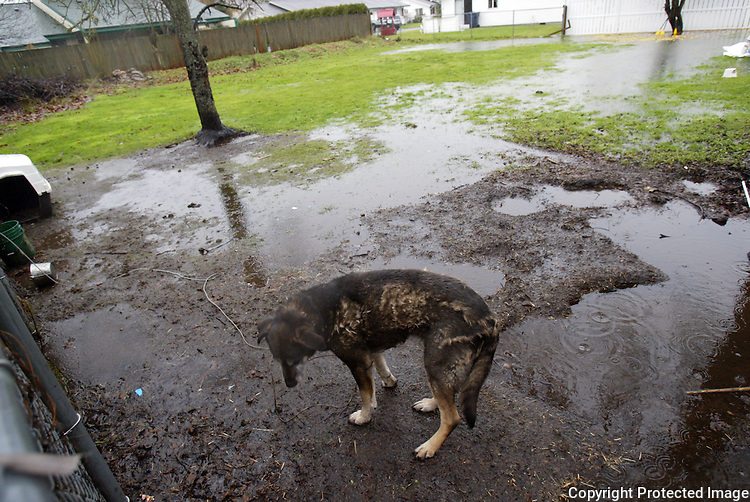 Rocky, whose owner says he is a malamute, is out in the rain in Enumclaw, Wash. on January 7, 2009.   (Karen Ducey/Seattle Post-Intelligencer)