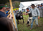 """A cow is pulled in to the arena during Queen Fight tournament in the village of Villarlod in the Fribourg Canton Saturday  April 26,  2014.  Each year, a series of cow fights known as combats de reines (""""queen fights""""), which began in the 1920s are held in Swiss villages. The winner is called La Reine des Reines (""""the queen of queens""""). Once a year, a grand final is held in Aproz, where the six best from seven districts do battle in six weight categories. Photo by Eyal Warshavsky"""