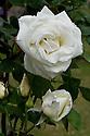 Rosa 'Paul's Lemon Pillar', mid June.