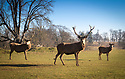 26/02/19<br /> <br /> A trio of stags enjoy the warm afternoon sunshine at Calke Abbey, Ticknall, Derbyshire.<br /> <br /> All Rights Reserved, F Stop Press Ltd.  (0)7765 242650  www.fstoppress.com rod@fstoppress.com