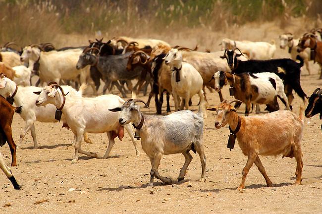 Goat herd on Ios, Cyclades Islands, Greece