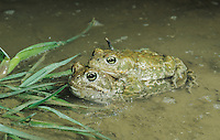 Natterjack Toad , Bufo calamita, pair mating at night, Edlibach, Zug, Switzerland, April 1992