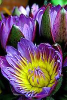 Flores. Ninféia ( Nymphaea caerulea). SP. Foto de Manuel Lourenço.