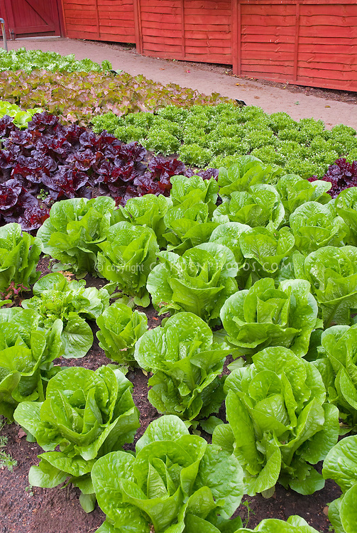 Red lettuce, green lettuces, romaine lettuce, heads of lettuce in fenced vegetable garden, in rows growing, wide view of many salad plants, with red fence, garden spigot hosepipe, romaine, cos, etc