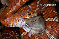 1R22-640z  Corn Snake, Banded Corn Snake, Elaphe guttata guttata or Pantherophis guttata guttata, catching and eating mouse
