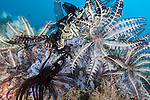 Tanjung Papisoi, Indonesia; several feather stars attached to colorful soft corals on the reef