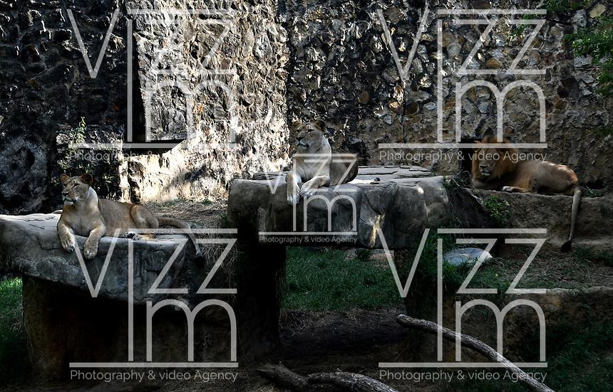 CALI - COLOMBIA - 27 - 09 – 2017: Leones Africanos (Panthera Leo), especie de felino en el Zoologico de Cali, en el Departamento del Valle del Cauca.  / African Lioness (Panthera Leo), a feline species at the Cali Zoo, in the Department of Valle del Cauca. / Photo: VizzorImage / Luis Ramirez / Staff.