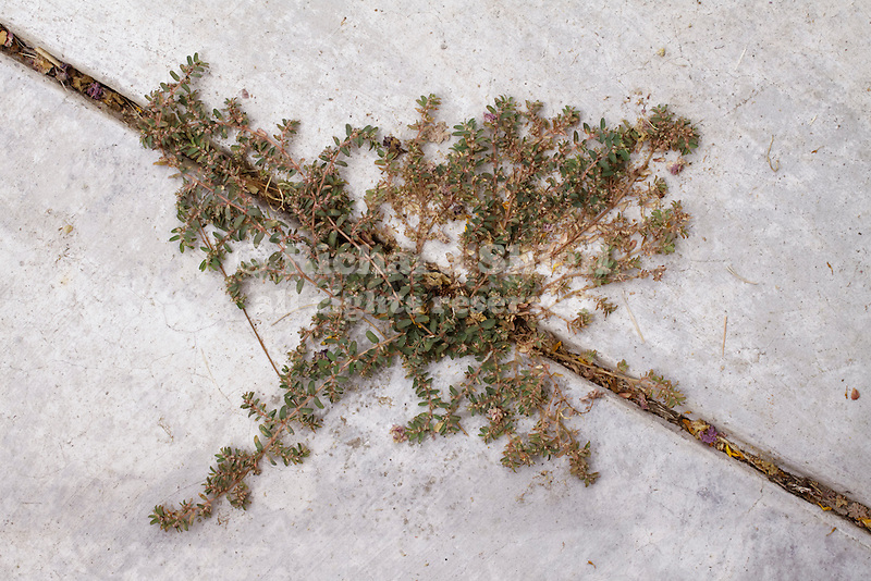 EUPHORBIA (CHAMAESYCE) SERPENS, CREEPING SPURGE, WEED