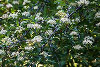 Cornus glabrata, Brown Dogwood, California native shrub flowering in Regional Parks Botanic Garden, Berkeley, California