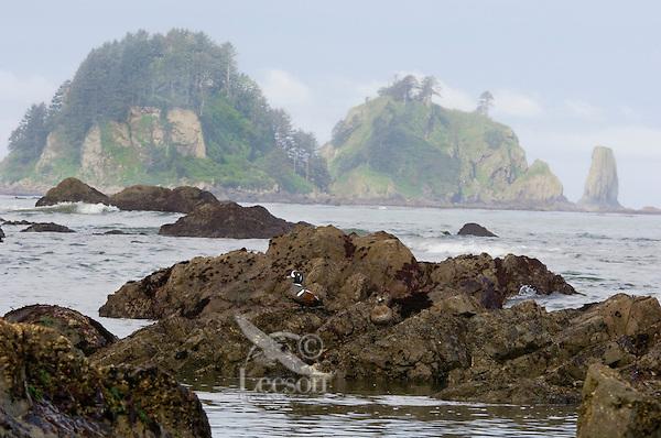 Harlequin Duck (Histrionicus histrionicus) pair along Pacific Northwest Coast.