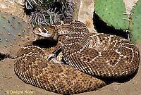1R15-015c  Western Diamondback Rattlesnake - Crotalus atrox  .