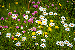Deutschland, Bayern, Oberbayern, Rosenheimer Land, (Chiemgau), bei Rosenheim: Fruehlingswiese mit Margeriten | Germany, Upper Bavaria, Rosenheimer Land, (Chiemgau), near Rosenheim: spring flower meadow with daisies